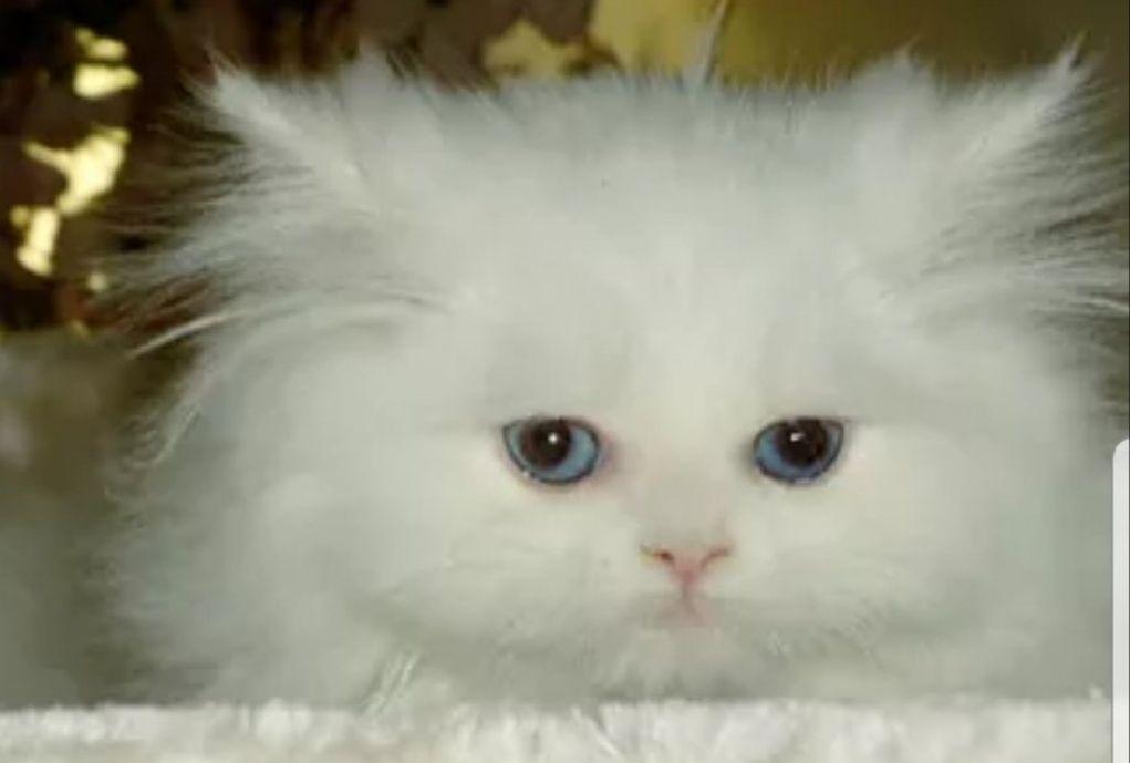 Cfa dollface persian kittens - Claz org