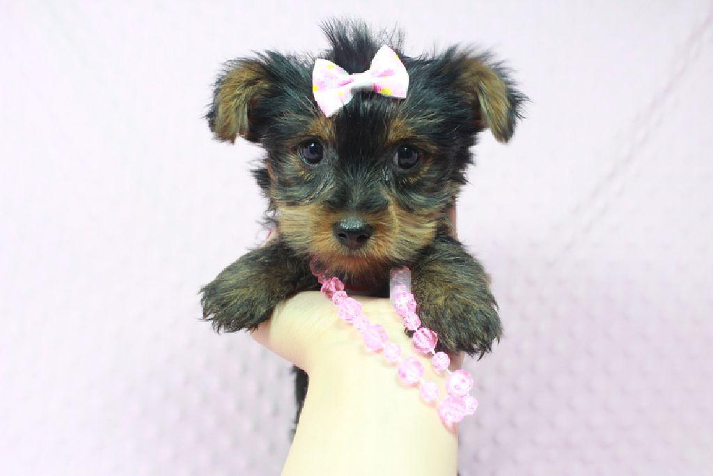 Perfect Teacup Yorkie Puppies Available Now In Utaharizonatexas