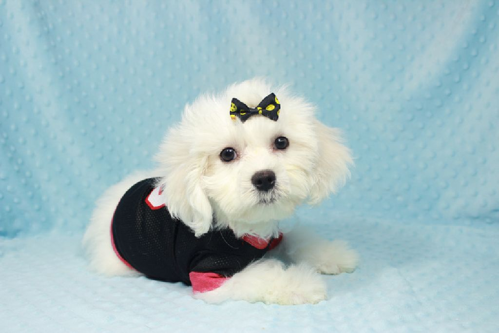 White Maltipoo Puppies For Sale By Breeder In Las Vegas Clazorg
