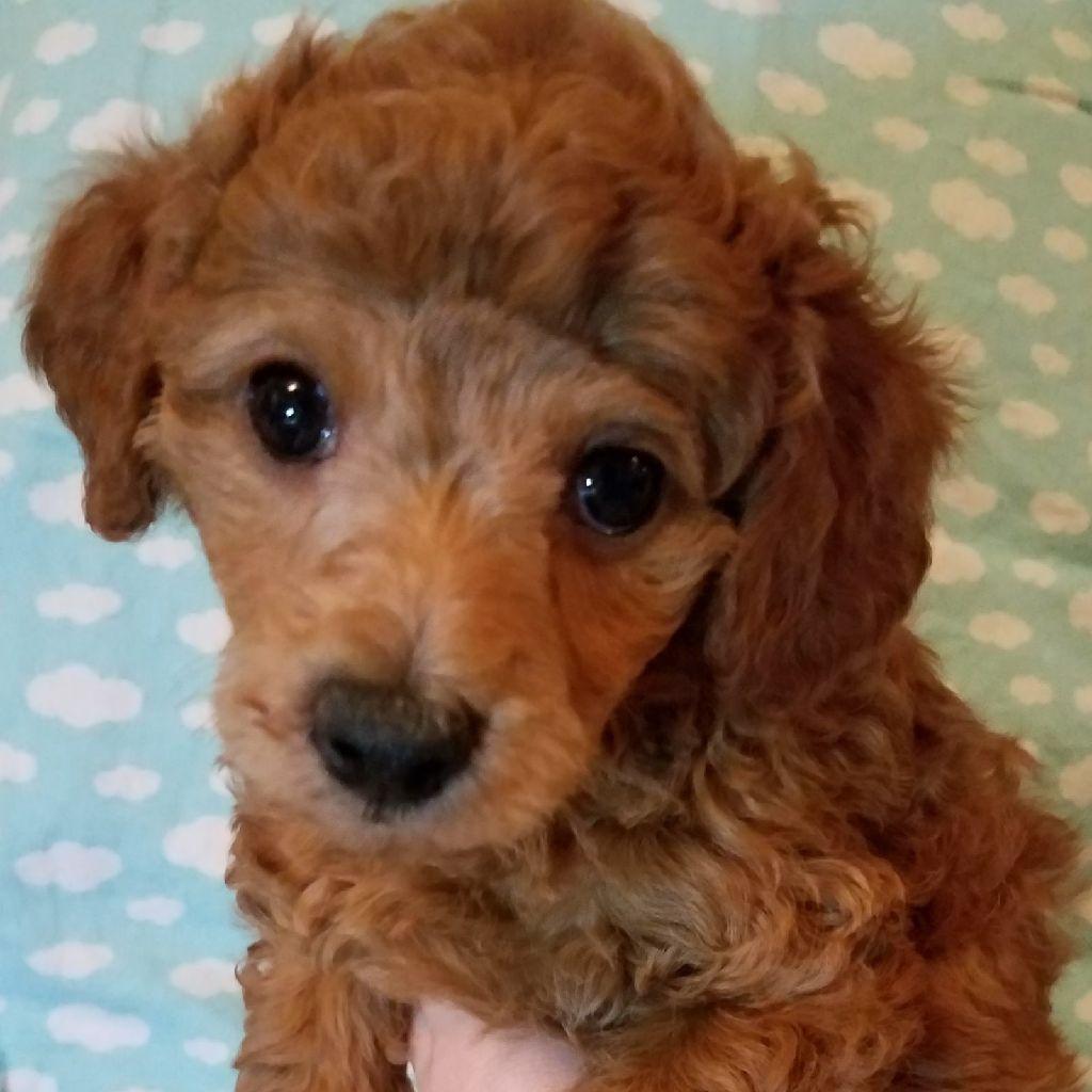 3 Mini Poodle Puppies Left For Sale Clazorg