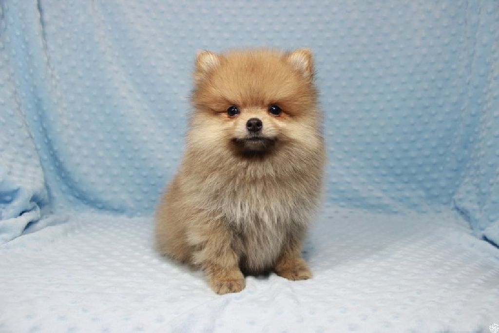 Tiny Teacup Pomeranian Puppies In Las Vegas Claz Org