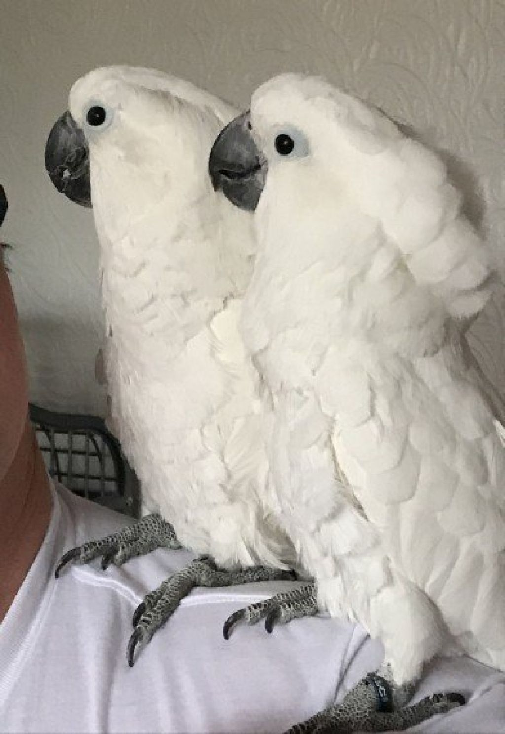 Male and Female Hand Reared Baby Umbrella Cockatoos - Claz org