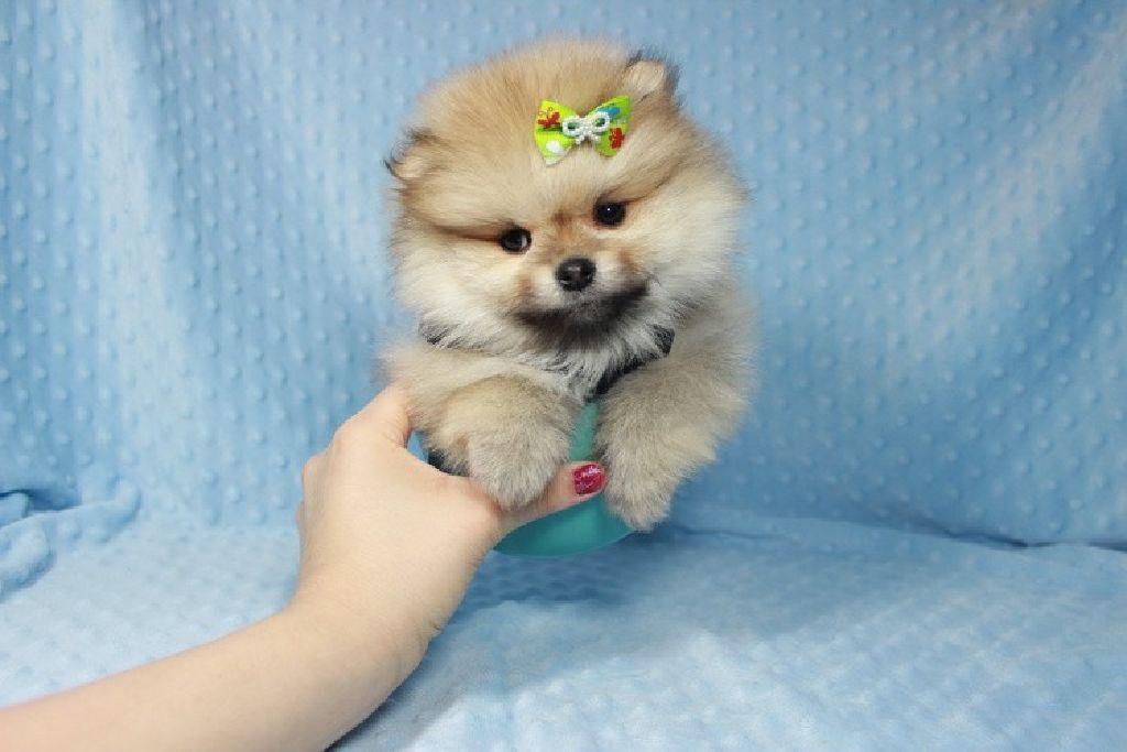 Tiny House Las Vegas >> Teacup Teddy Bear Pomeranian Puppy available in Las Vegas ...