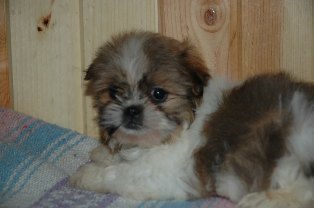 Maltipoo Or Shichon Puppies Available Now To Loving Homes