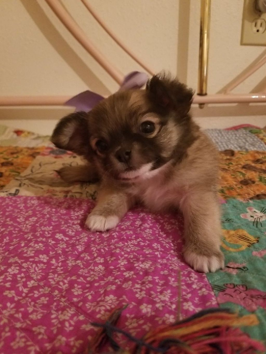 Long Haired Chihuahua Puppy Itty Bitty Claz Org