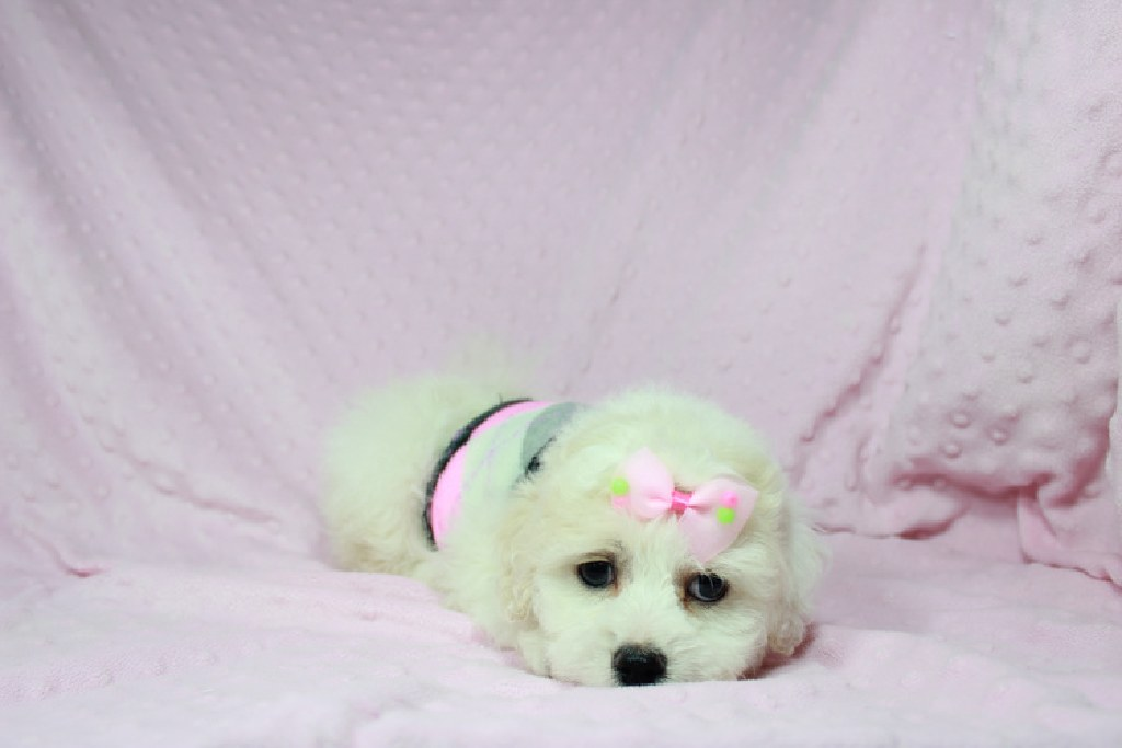 Puppy Heaven Teacup Toy Puppies For Sale In Las Vegas Clazorg