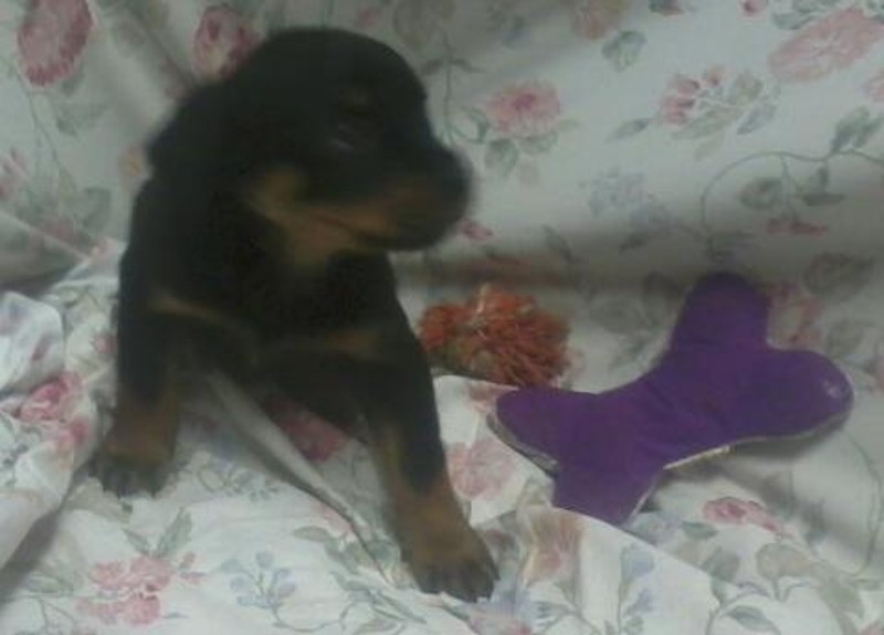 Large German Rottweiler Puppies For Sale 1100 Wyandanch Ny