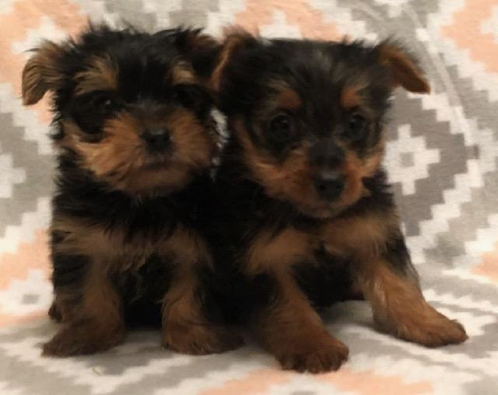 Akc Yorkie Yorkshire Terrier Male Puppies 8 Weeks Old Vet Checked
