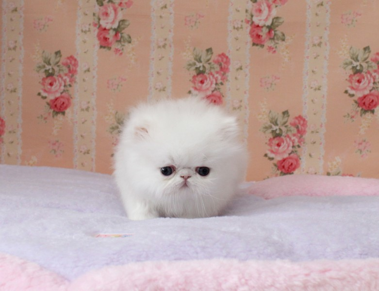Micro teacup persian kittens for sale 302 583 1203 300 louisville