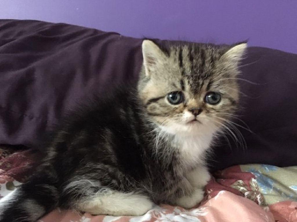 CFA Exotic Shorthair Kittens - Claz.org