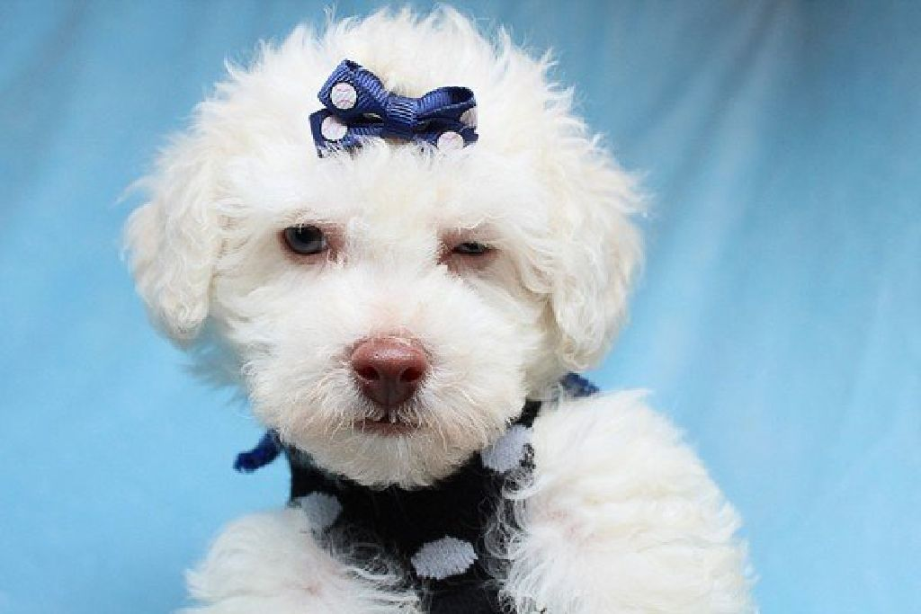Cute And Adorable Teacup Maltipoo Puppies For Sale In Las Vegas Financing And Shipping Available Claz Org