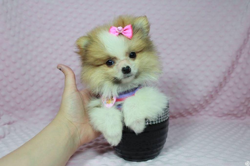 Teacup Pomeranian Puppies In Las Vegas Claz Org