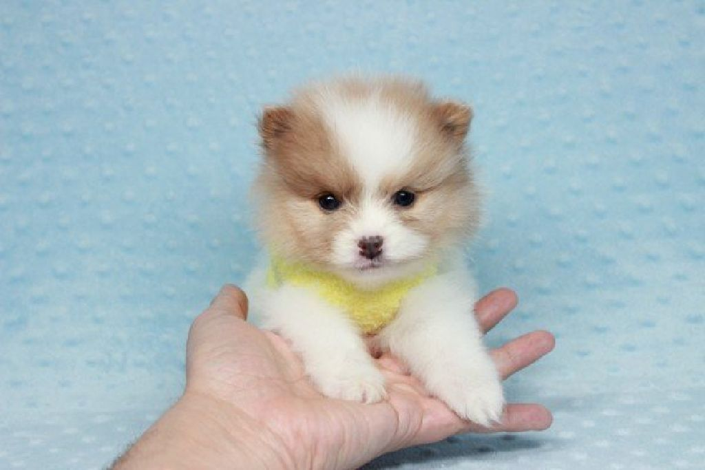 Micro Tiny Teacup Pomeranian Puppies In Las Vegas Claz Org