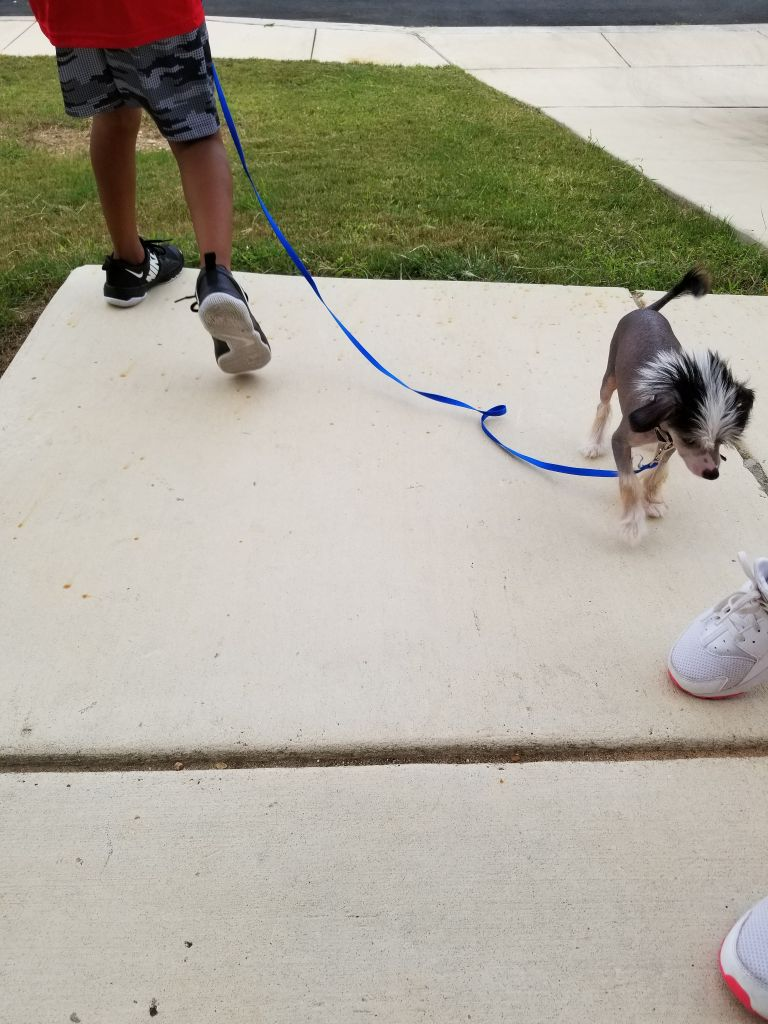 10 week old Chinese Crested