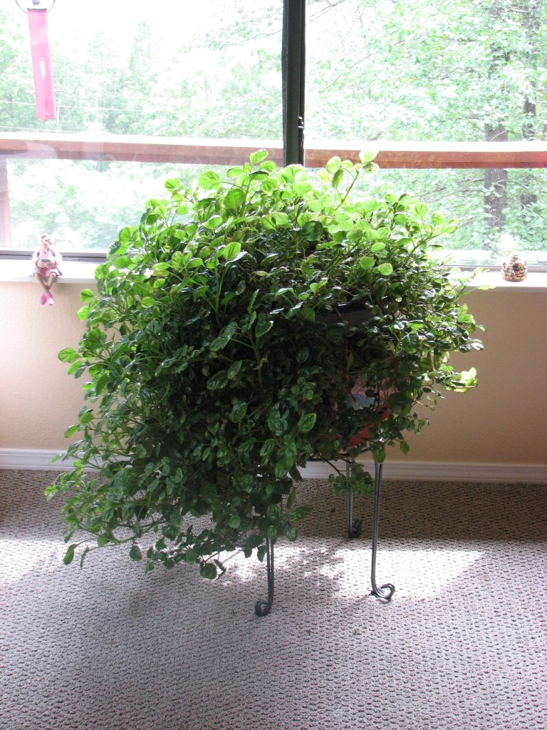 Huge, healthy Swedish Ivy with unique South of the Border planter
