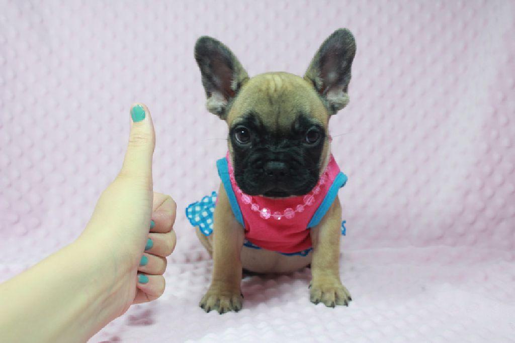 AKC French Bulldog Puppies.