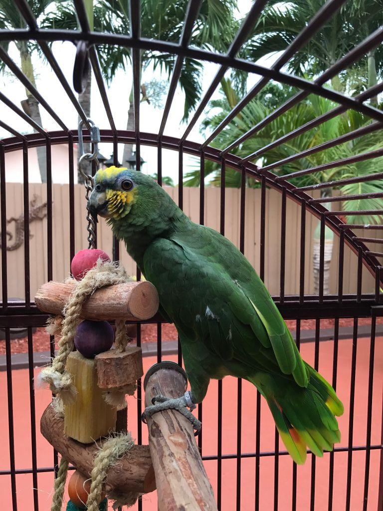 Blue front Parrot
