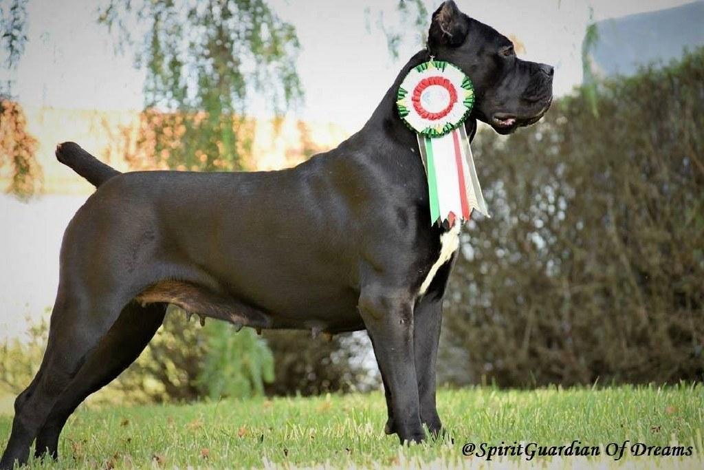 High Quality Cane Corso Italian Mastiff Imports