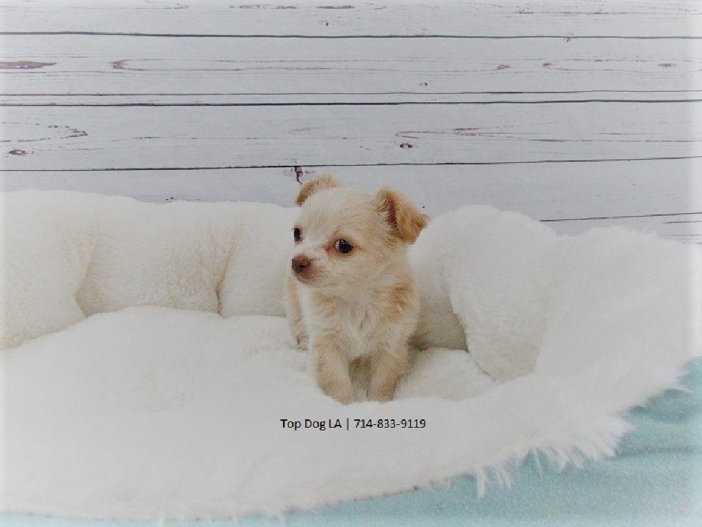 Long-Haired Chihuahua-Male-Papaya