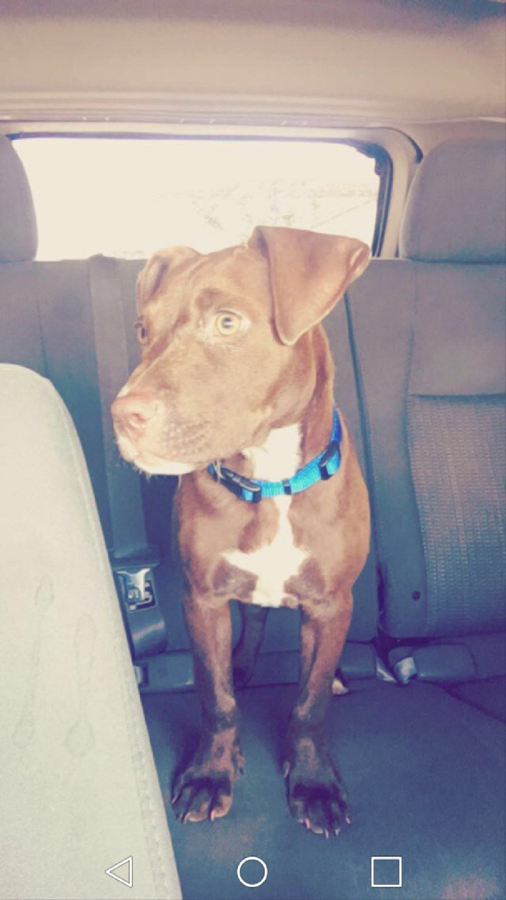 lost my Red nose pitbull .. Help bring her home