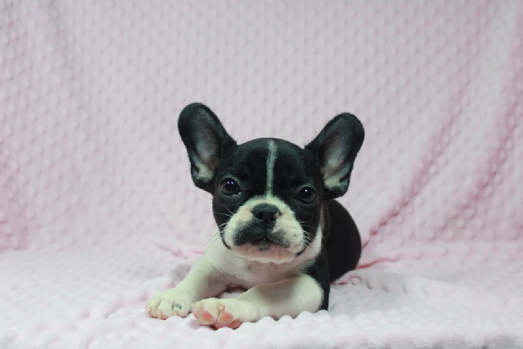 ADORABLE AKC female French Bulldog puppy available now !