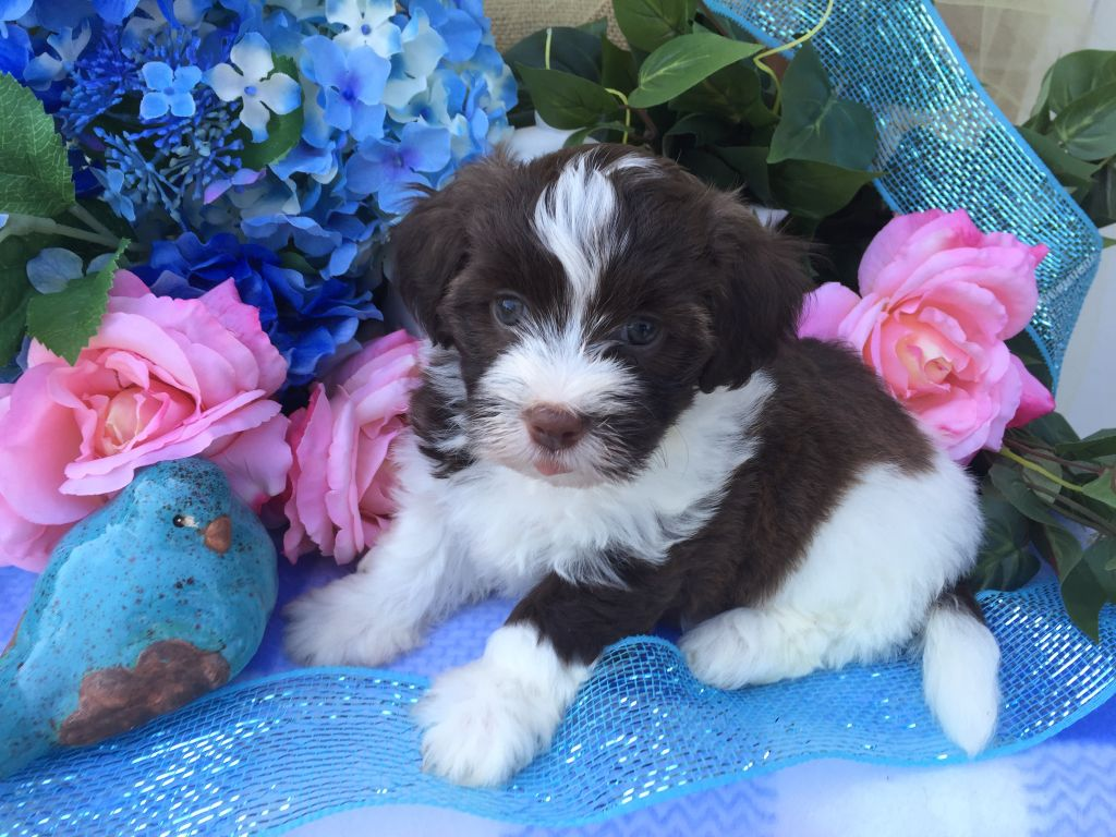 AKC Havanese non-shedding puppy