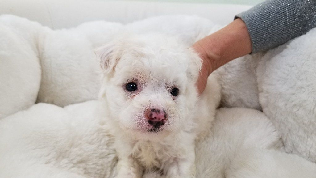 Maltipoo puppy - Male - Joey