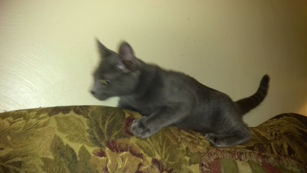 Gorgeous purebred Russian Blue kitten, male, 16 wks