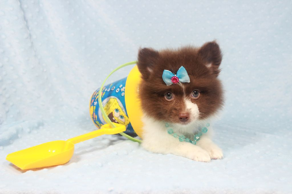 Tiny Teacup Pomeranian Puppies Available now !