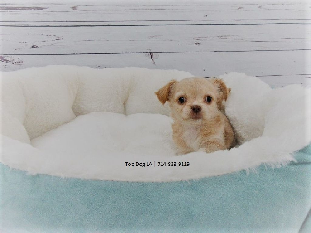 Long-Haired Chihuahua-Female-Naomi