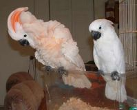 Cockatoo Babies and fertile cockatoo eggs for sale