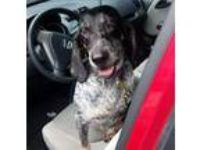 Adopt Raleigh a Bluetick Coonhound