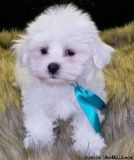 xbb=xfjbj=n Maltese Puppies for sale
