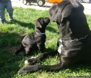 iiikvb Cane Corso puppies for sale