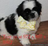 aegrshdjn Shih Tzu puppies for sale