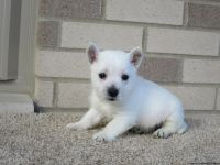 sgdrrhfgnj West Highland White Terrier puppies