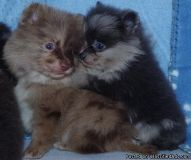 GFHBFCGH Pomeranian Puppies
