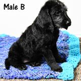 Labradoodle PUPPY FOR SALE ADN-53381 - Black Male Labradoodle