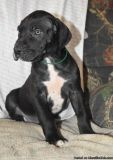 LDOAD M\F Great Dane Puppies