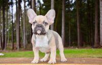 French Bulldog PUPPY FOR SALE ADN-64272 - French Bulldog