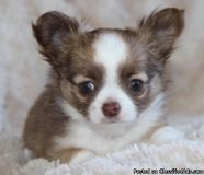 Best Ever Male & Female Chihuahua Puppies