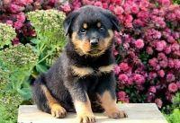 Sweet Bloodline AKc Registered Rottweiler Puppy's