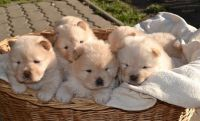 RSER M\F AKC Chow Chow Puppies