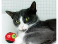 Adopt Beth a Domestic Short Hair