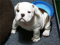 LOVELY M/F ENGLISH BULLDOG PUPPIES Available For Sale
