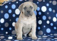 Cane Corso PUPPY FOR SALE ADN-64352 - Cane Corso Puppy for Sale