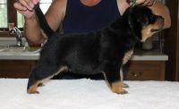 Nice and healthy rottweiler puppies for free