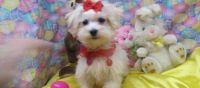 efcrgtr sometimes Maltese Pups Available Now