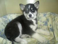 Siberian Husky PUPPY FOR SALE ADN-62674 - aphrodite