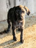 Poodle (Standard)-Great Dane Mix PUPPY FOR SALE ADN-66034 - I have 2 males and 2 females born December 12th
